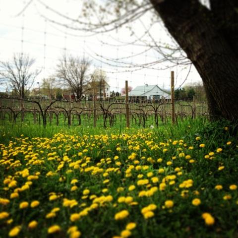 Taraxacum Season