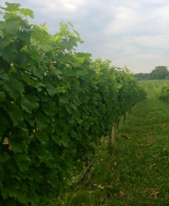 Post-tucking, hedging, and lateral removal.  Do these vines feel the love?