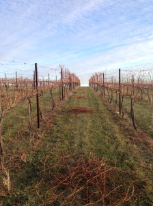 Rough-pruned Cabernet Sauvignon.