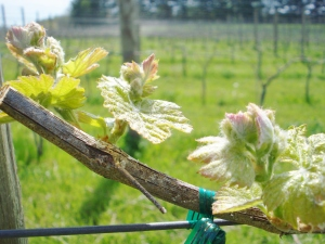 Leaves opening on our Vineyard #3 Merlot