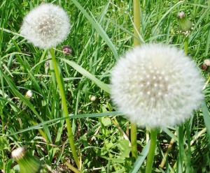 Little moons of  dandilion