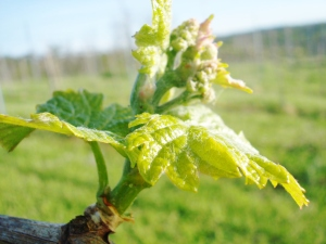 Viognier burst, Estate Vineyard #1