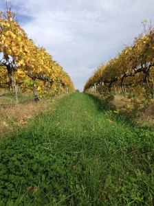 Traminette vines in the fall - just before the leaves drop